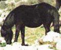 Razza Pony Esperia