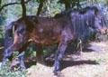 razza-pony-della-giara