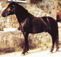 razza-pony-di-monterufoli
